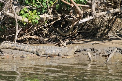 Croc # 2