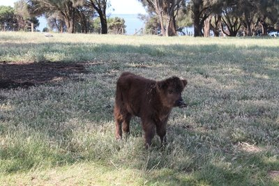 The cutest cow's calf!