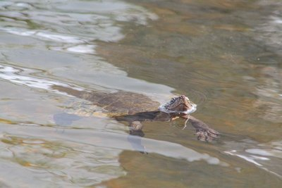One of the turtles that came when we tapped the water