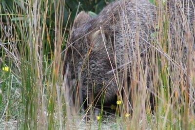 The wombat....