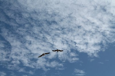 Osprey's circling at Yardie Creek