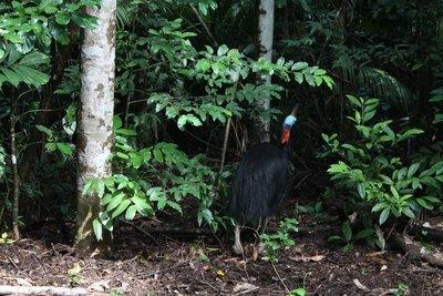 Cassowary spotting