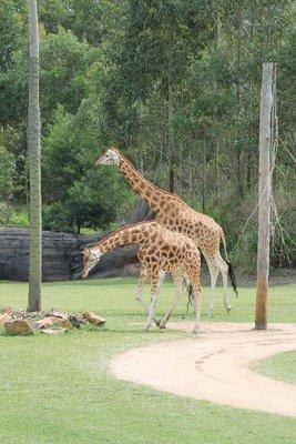 More giraffe shots