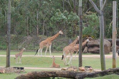 Giraffeys