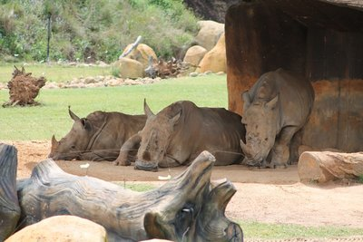 the stressed Rhinos