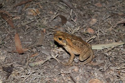 Icky Cane toad