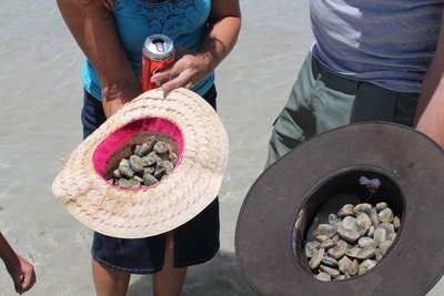 Cockle collecting