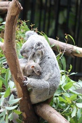 Koala mum n baby