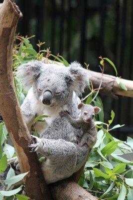 the most adorable baby koala