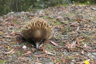 Up close with the Echidna