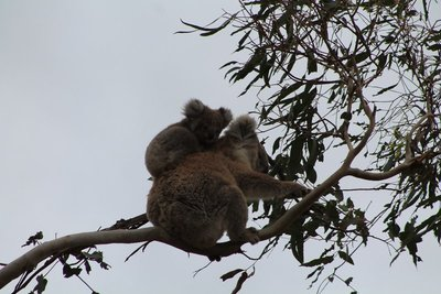 Koalas in the wild...