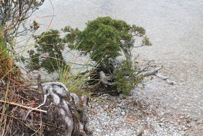 Bonsai at the edge of Dove Lake