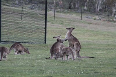 Kangaroos having a boxing match