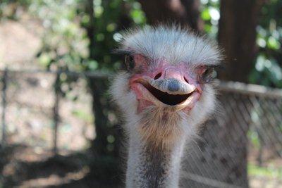 Smiley Ostrich