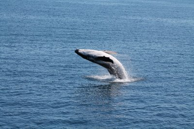 Baby whale having a playaround
