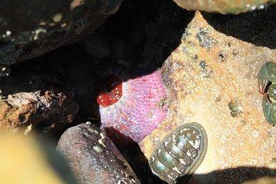 Strangest rock pool creature ever!