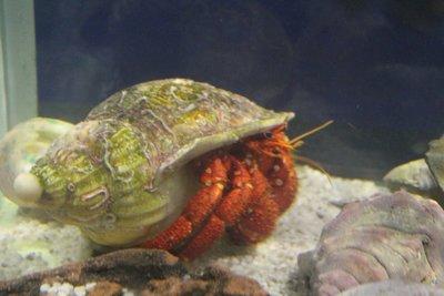 big hermit crabs at Seahorse World