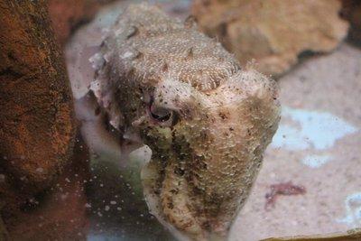 The Sad cuttlefish