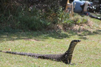 More of the big goanna
