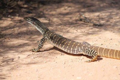 The big Lace monitor