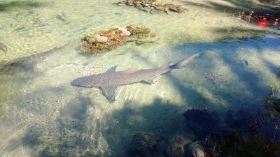 The shark at the reef tank