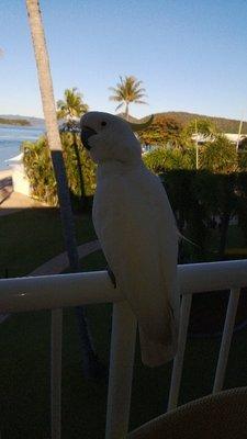 Friendly cockatoos
