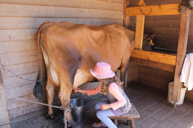 Milking the cow time...