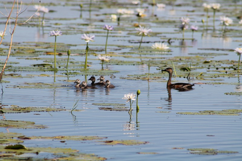 Ducklings at the billabong