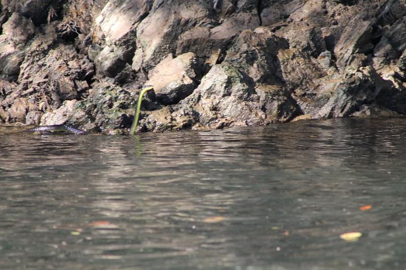TRee snake swimming