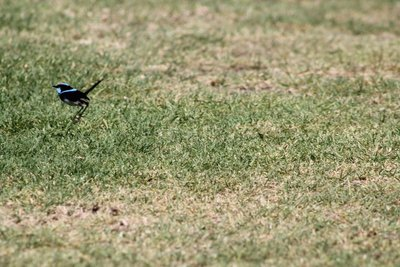 Bird watching - Blue Wren