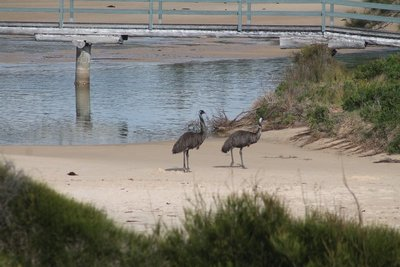 Emus at the beach