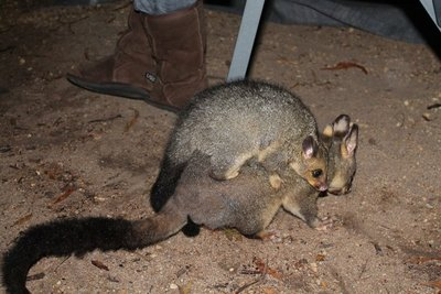 Mama and baby possum