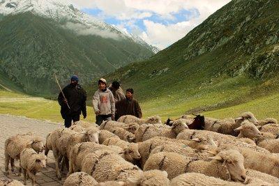 Grazing at Ladakh