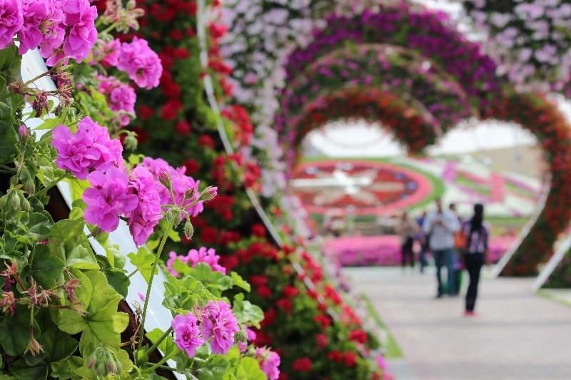 Miracle Garden at Dubai