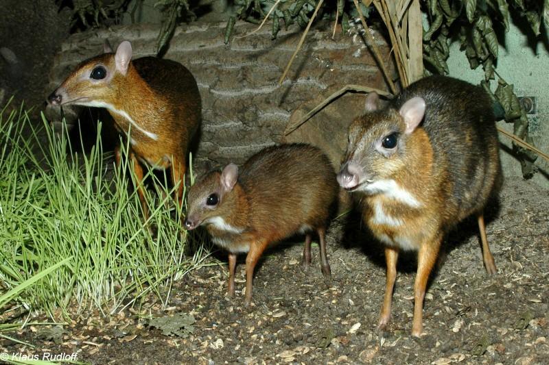 large_mouse_deer.jpg