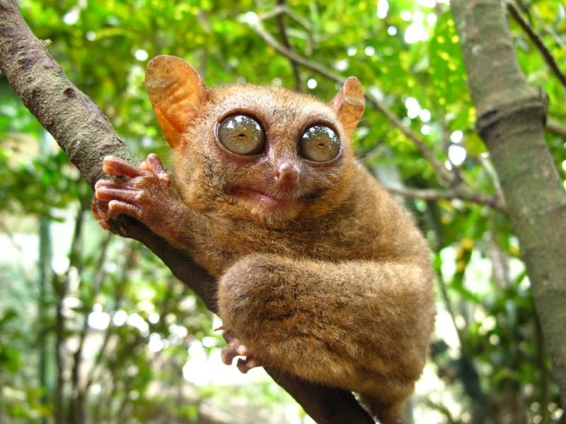 large_tarsier.jpg