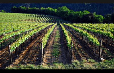 bagni_vineyard.jpg