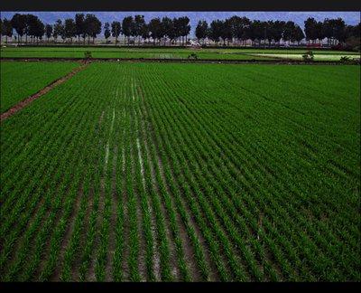 ricepaddies.jpg