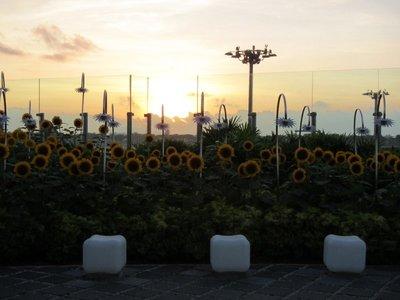 Watching the sunrise over the sunflower garden
