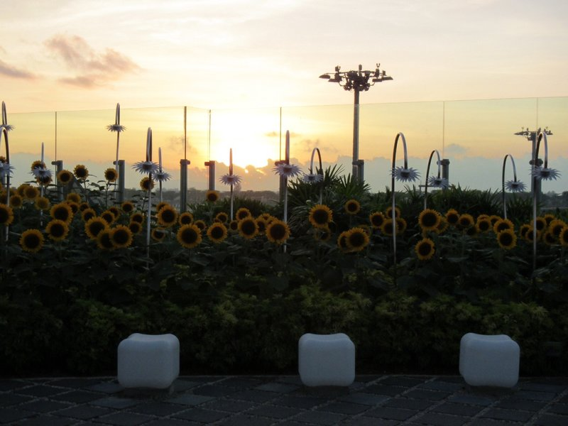 Watching the sunrise over the sunflower garden