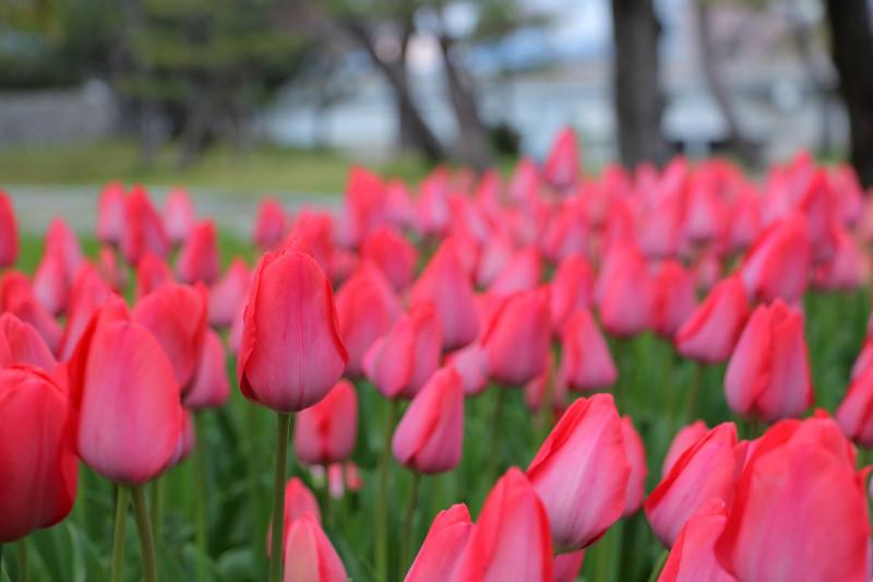 large_15_Tulips.jpg