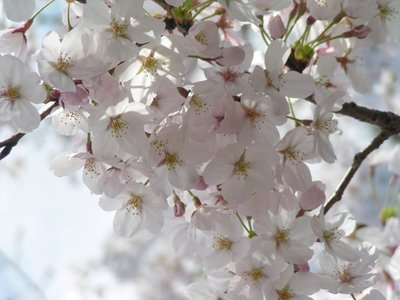 Sakura close up