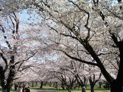 Cherry Blossom at the Arashiyama
