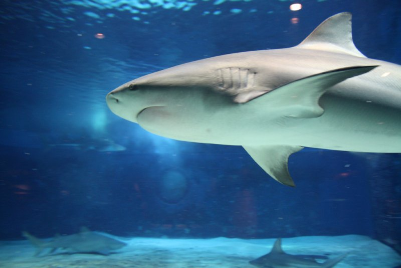 Okinawa Churaumi Aquarium - Shark in the tank