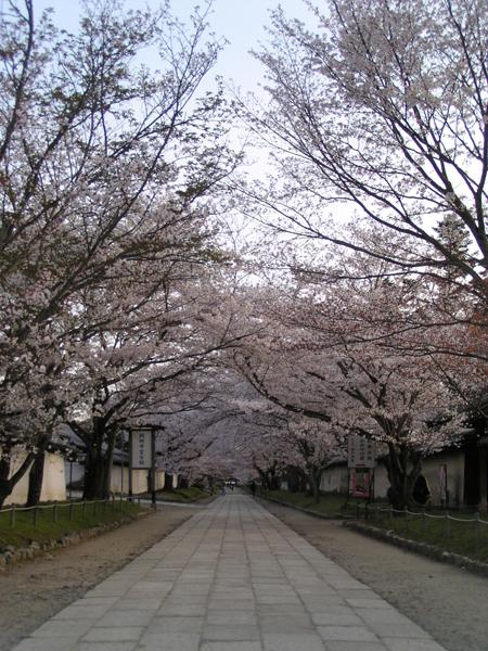 Daigo ji cherry blossom