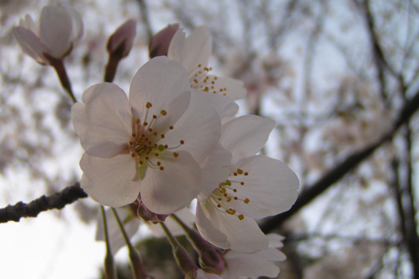 another sakura close up