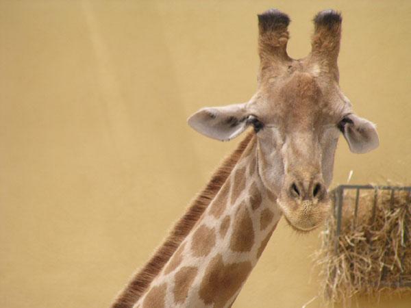 Smiling Giraff Lisbon Zoo