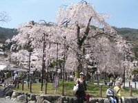 Me in front of a cherry tree at the Arashiyama