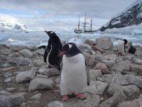 Gentoo in Antarctica