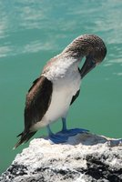 Blue Footed Boobie 2